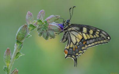 бабочка виноградный вредитель