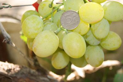 сладкие сорта винограда