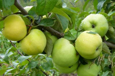 сорт яблони вербное
