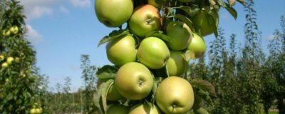 летние сорта колоновидных яблонь