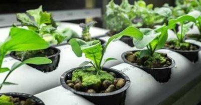 как сажать рукколу семенами в открытом грунте
