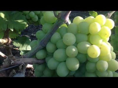 сорт винограда румба