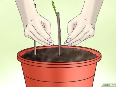 когда сажать саженцы вишни весной