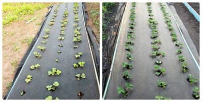 как правильно посадить клубнику весной