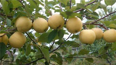 яблоня сорт уральское наливное