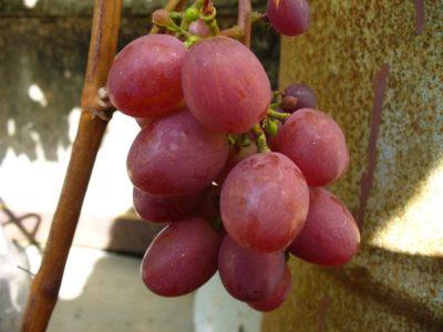 сорт винограда виктория