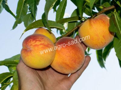 сорта персика для средней полосы