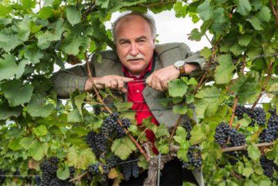 как посадить виноград в подмосковье