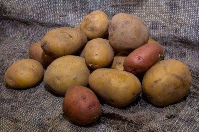 сорт картофеля агата