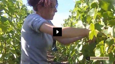 как подвязать виноград