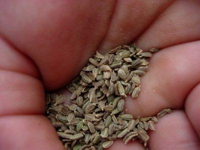 как подготовить семена укропа к посадке