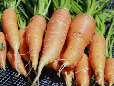 подзимние сорта моркови