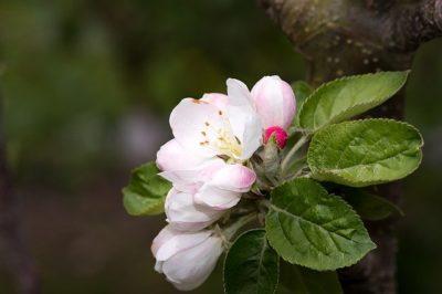 яблоня не распускается весной что делать