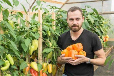 уход за перцами в теплице от посадки до урожая