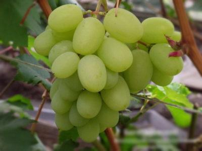 сорт винограда августа