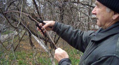 как обрезать грушу весной