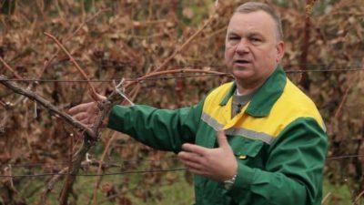 когда обрезать виноград осенью в подмосковье