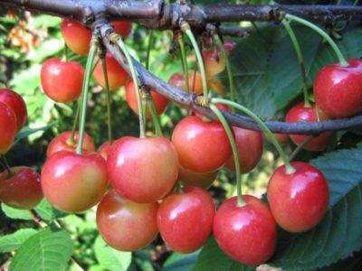 сорта вишни для ярославской области