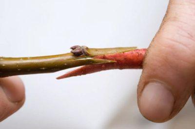 прививка черешни весной