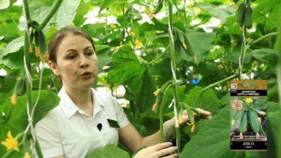лучшие сорта огурцов для ленинградской области