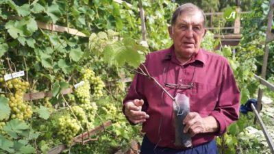 как посадить виноград на урале весной