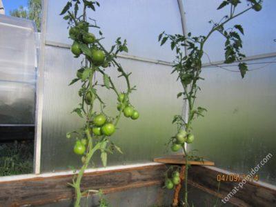 как выглядят пасынки у помидор