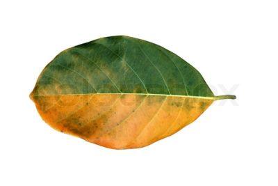 на листьях груши черные пятна