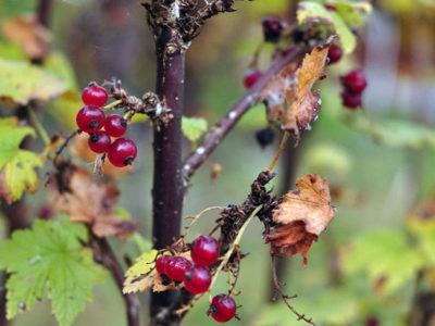 смородина черная обрезка и уход осенью