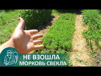 посев моркови в июне