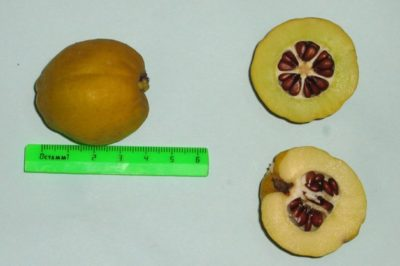 выращивание айвы из семян