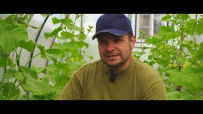 борьба с болезнями огурцов в открытом грунте