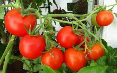 как посадить длинные помидоры