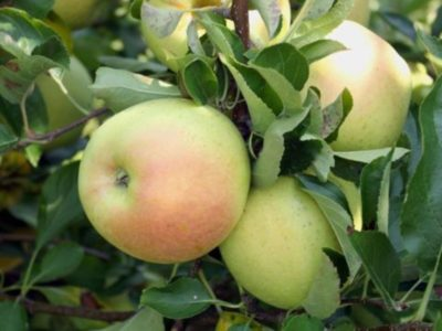 сорт яблони афродита