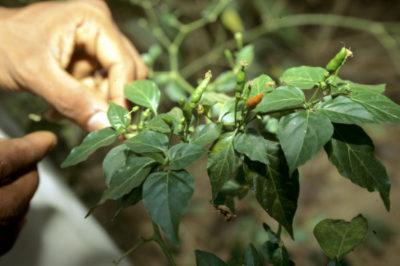 выращивание острого перца из семян