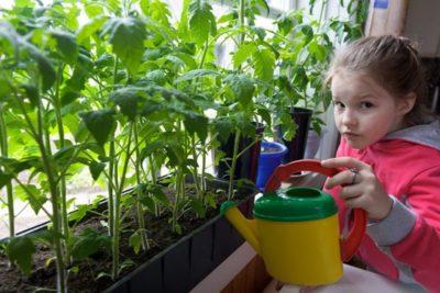 как ухаживать за рассадой помидор в домашних условиях