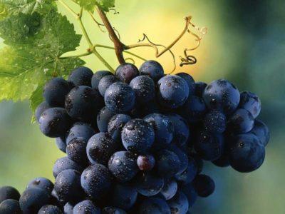 сорт винограда юпитер