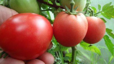 сорта томатов для среднего поволжья