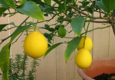 как вырастить лимонник из семян