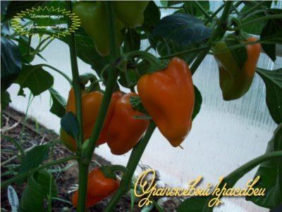 удобрения для перцев в теплице