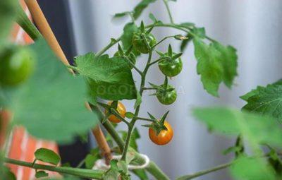лучшее удобрение для помидоров