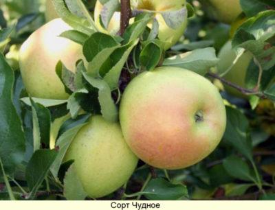 летние сорта яблонь для подмосковья