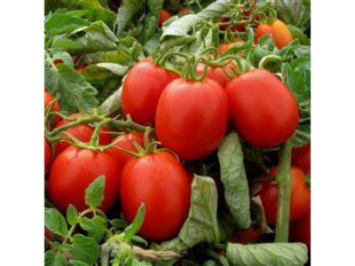 томат рио гранде описание сорта