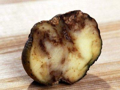 картофель болезни ботвы