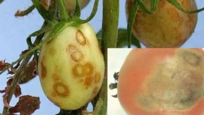 коричневые пятна на плодах перца