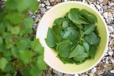 листья смородины заготовка