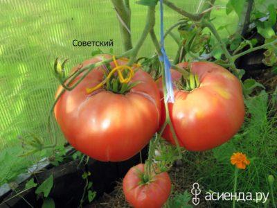 сорт томатов евпатор