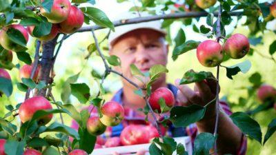 уход за яблоней в сентябре