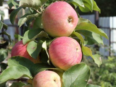 малиновка сорт яблок