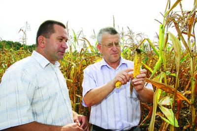 глубина посева кукурузы