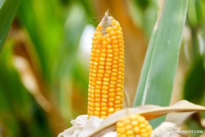 как пасынковать кукурузу